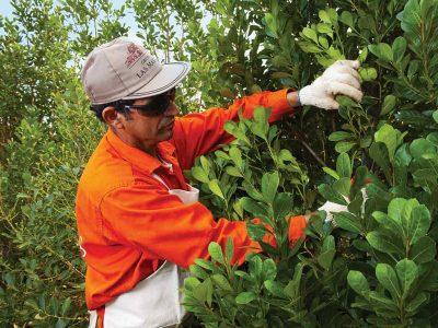 Hombre cosechando yerba mate taragui